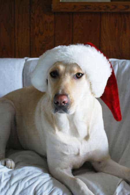 Cali the yellow Labrador dressed in a Santa Hat