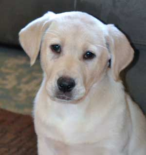 Yellow Labrador Puppy Cali the Dog image for the Christmas Dog Video