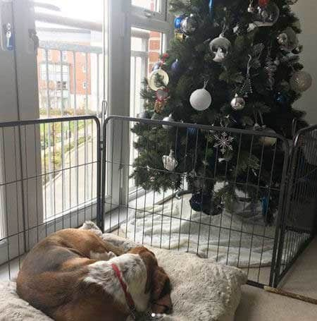 Christmas dog proofing with a an outdoor fence