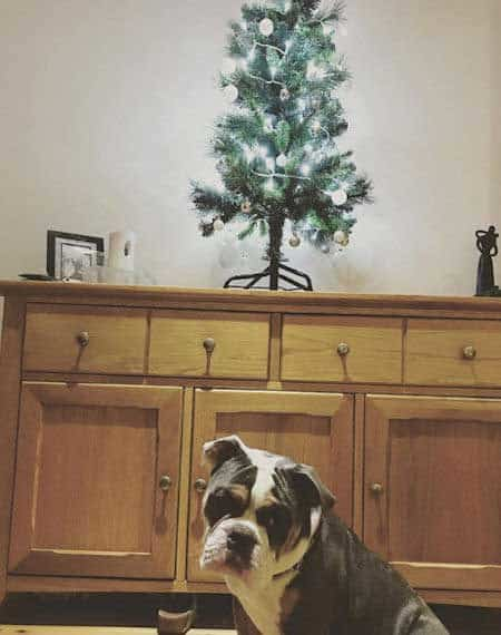 Christmas dog proofing with a tree on a table