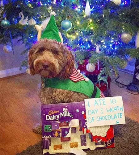 Christmas dog shaming candy eating