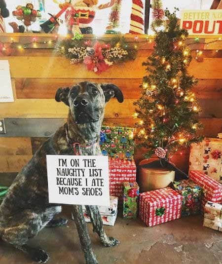 Christmas dog shaming shoe eating