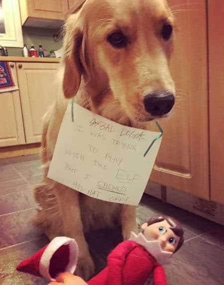 Christmas dog shaming picture of a dog that chewed off the hat of the elf on the shelf