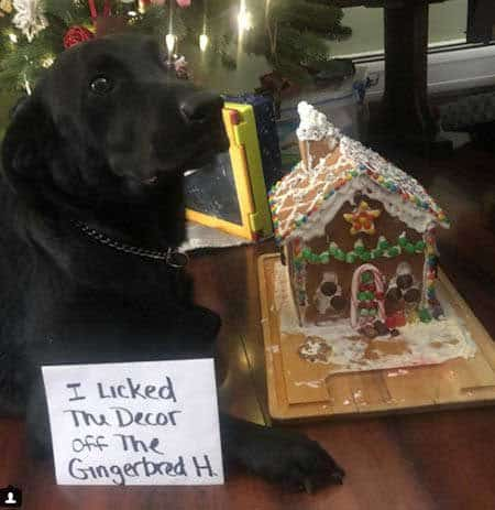 Christmas dog shaming picture of a Labrador that licked a gingerbread house