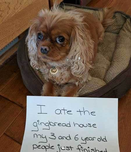 Christmas dog shaming picture of a dog that just ate a gingerbread house