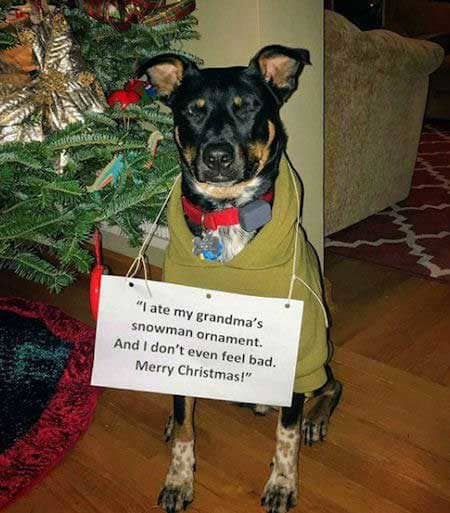 Christmas dog shaming picture of a dog that ate an ornament