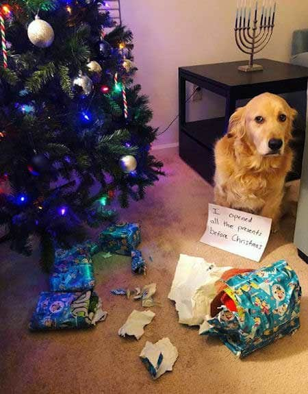 Christmas dog shaming picture of a dog that opened the presents