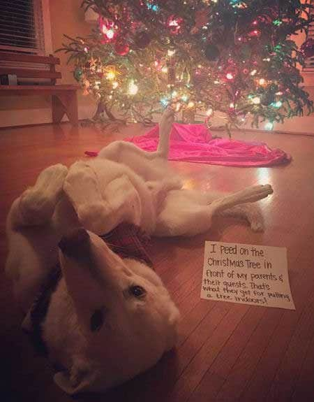 Christmas dog shaming picture of a dog that peed on the Christmas tree