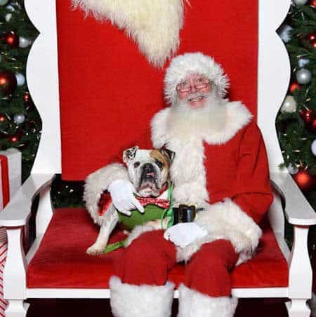 Cute Dog Pictures with Santa Paws with a bull dog