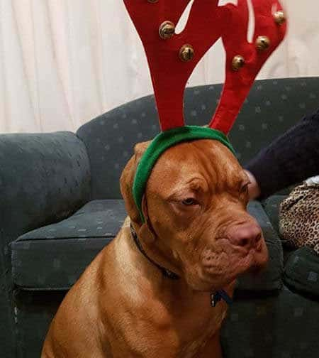 Dogs dressed up for Christmas canine in antlers