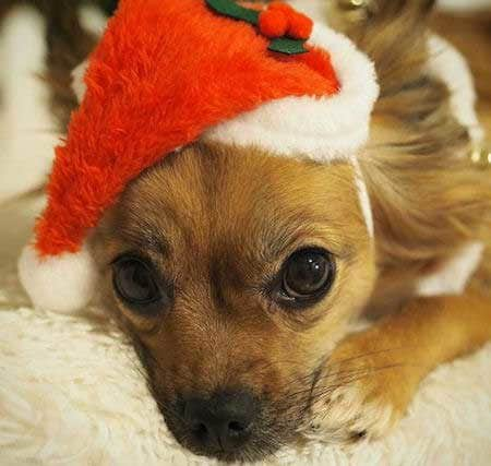 Dogs dressed up for Christmas with a santa hat