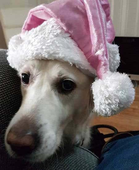 Dogs dressed up for Christmas with pink santa hat