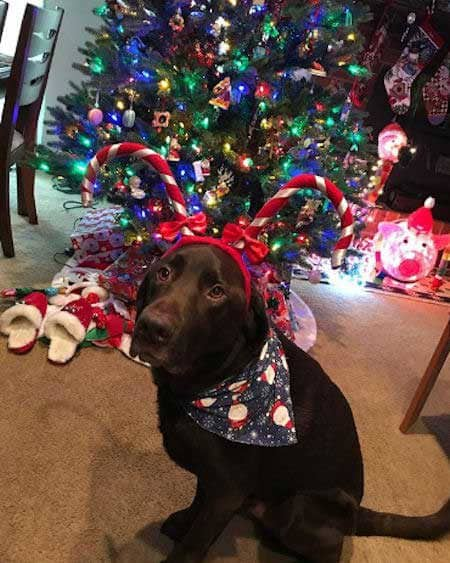 lab under the tree dressed in candy cane antlers