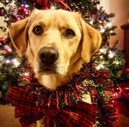 awesome looking dog dressed up for christmas