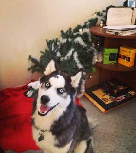 funny dogs of christmas destruction with a husky and a fallen tree