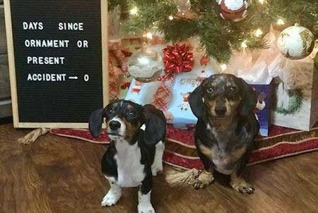 funny dogs of christmas destruction with a sign posting detailing the amount of days since a broken ornament