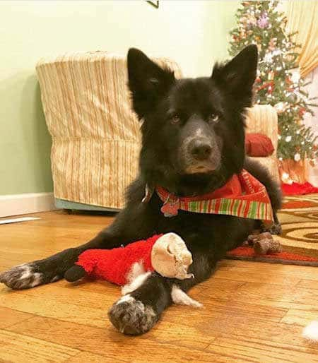 funny dogs of christmas destruction with a destroyed toy