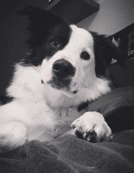 border collie pictures black and white