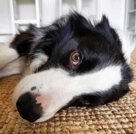 border collie pictures close up k9 on floor