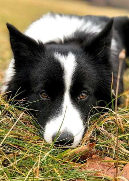 border collie pictures on the ground