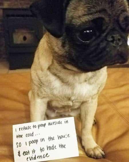 dogshaming pug