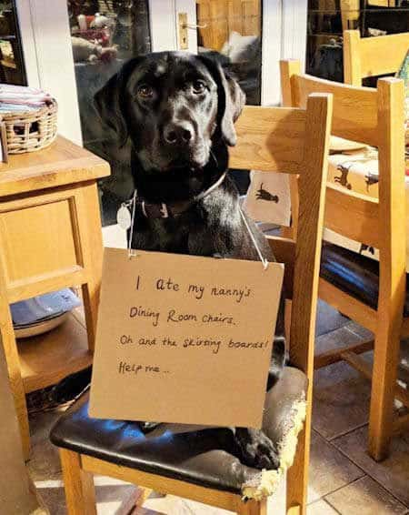 dogshaming Labrador that ate some chairs
