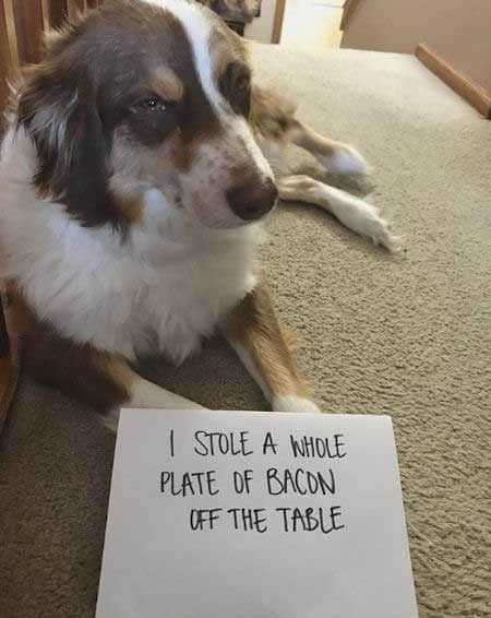 dogshaming bacon theif
