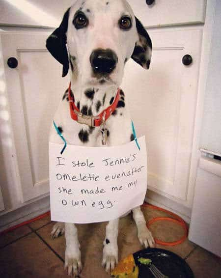 dogshaming dalmatian that ate an omelet