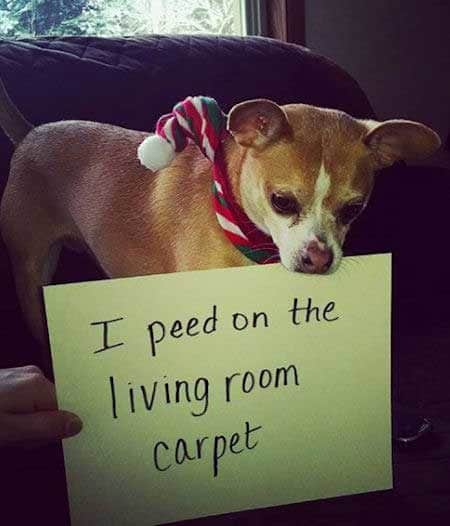 dogshaming picture of a dog that peed on the floor