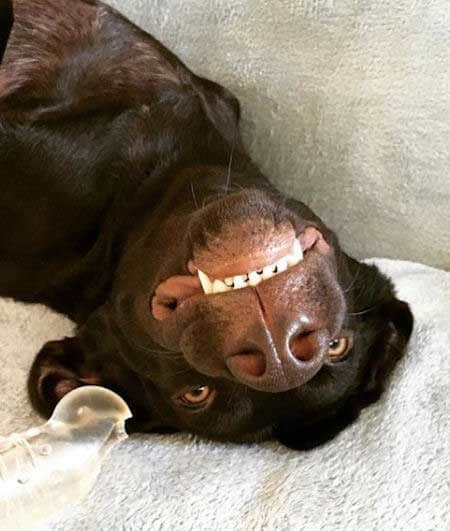 upside down dogs with a lab on the sofa