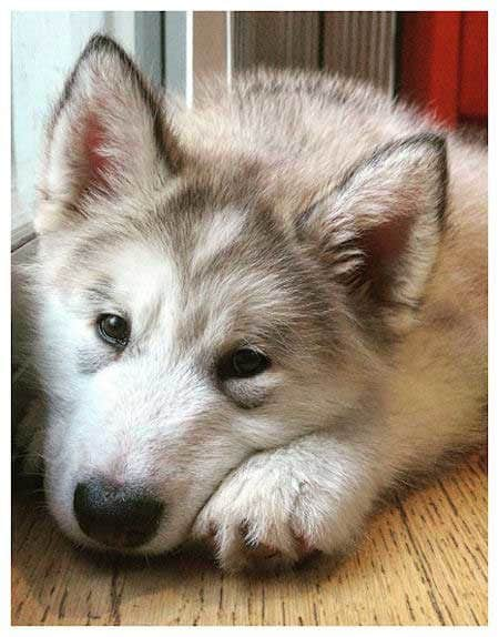 picture of an Alaskan Malamute puppy laying on the floor