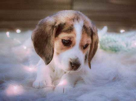 Awesome Beagle puppy picture retouched