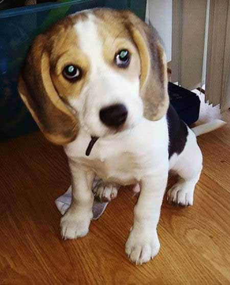 Beagle puppy sitting on a wood floor
