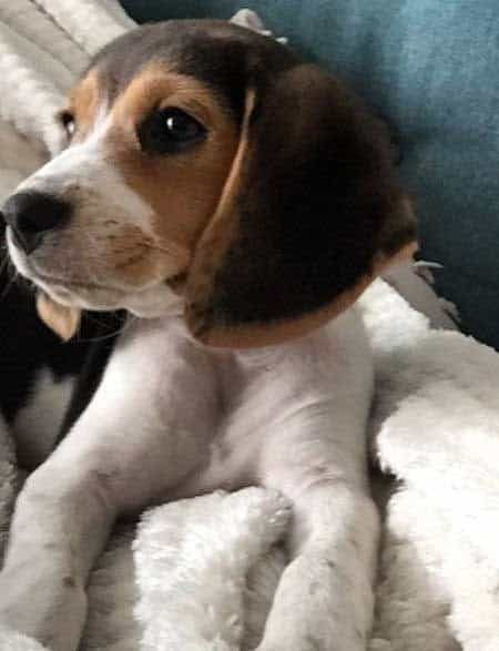 Beagle puppy profile picture