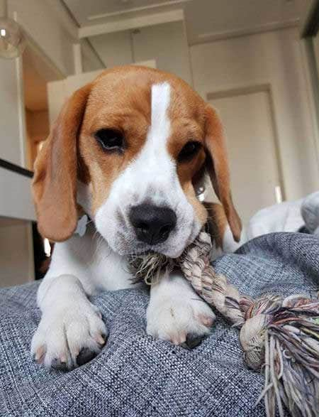 Beagle puppy eating a rope