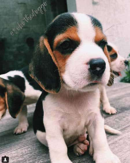 Beagle puppy sitting up