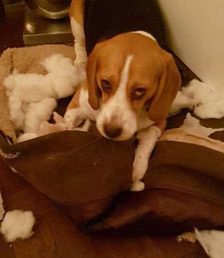 Beagle Puppy destroyed dog bed
