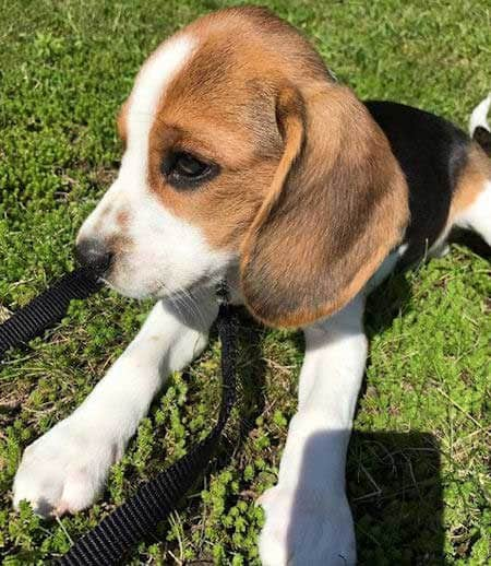 Beagle Puppy in the grass
