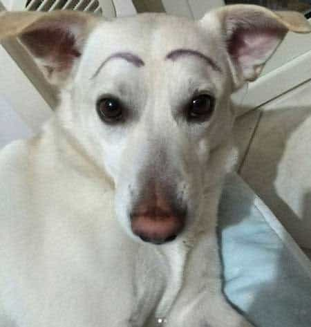 Funny Pictures of dogs with a white dog with painted on eye brows