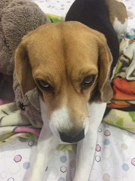Funny Pictures of dogs with a Beagle giving a funny facial expression