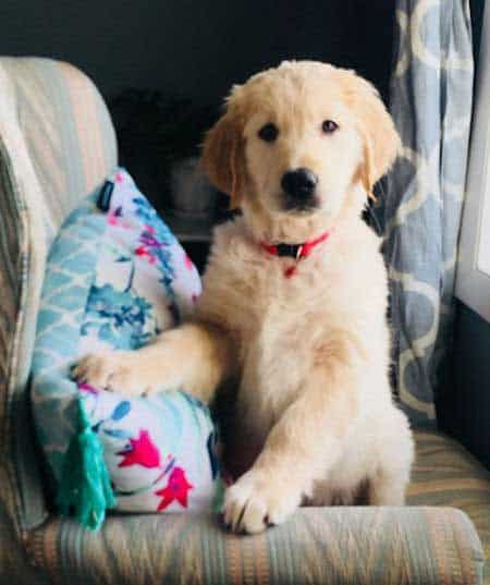 golden retriever puppy posing on the chair for Pictures of Golden Retriever Puppies post