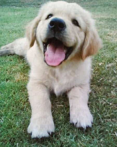 golden retriever puppy smiling for the camera on the grass