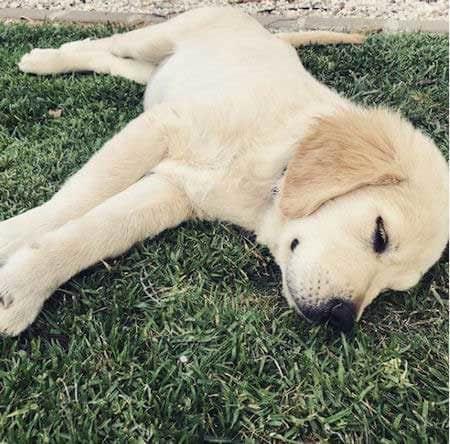 golden retriever puppy sleeping on the grass