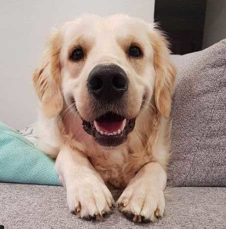 golden retriever puppy front head shot