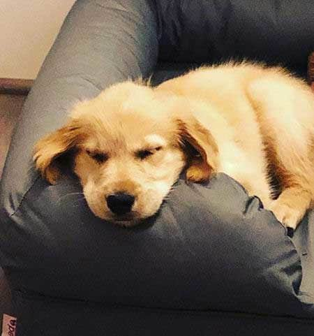golden retriever puppy sleeping on the sofa for Pictures of Golden Retriever Puppies post
