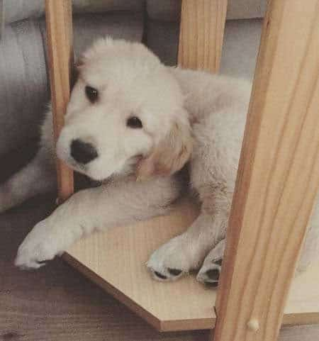 golden retriever puppy chilling in a piece of furniture