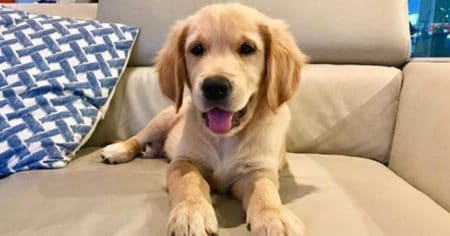 golden retriever puppy on a sofa