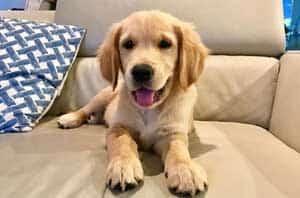 golden retriever puppy for puppy pictures