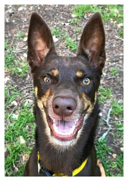 Pictures of Rescue Dogs with smiling Kelpie