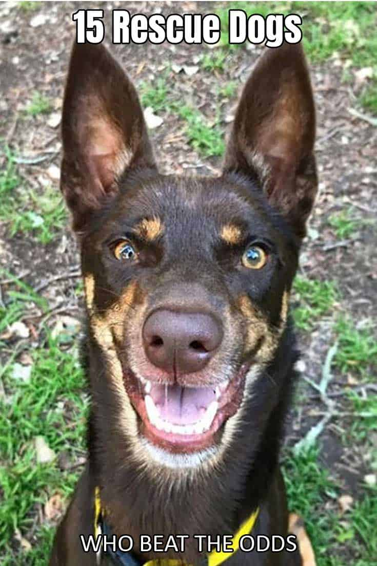 Rescue Dog Australian Kelpie smiling big